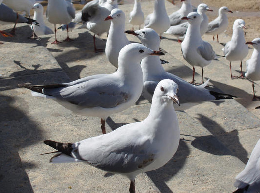 Aggrieved Seagulls